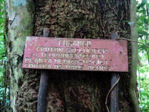 Sao Tomè, foresta primaria del Parque Nacional d Obò: il cubango, albero utilizzato per curare le malattie degli occhi    (2016)    (foto Giorgio Pagano)