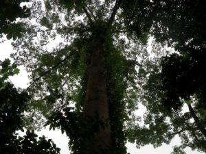 Piantagione di Ponta Figo, foresta d ombra (foto Giorgio Pagano)