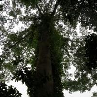 Roça di Ponta Figo,la foresta d'ombra